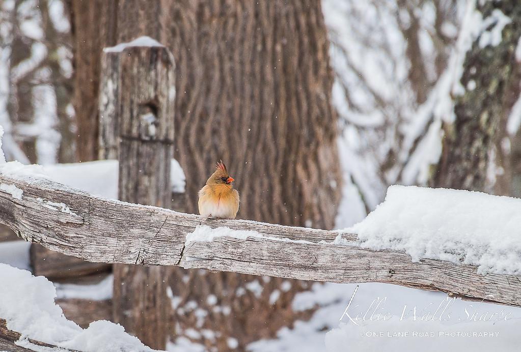 Cardinal on a Snowy Fence