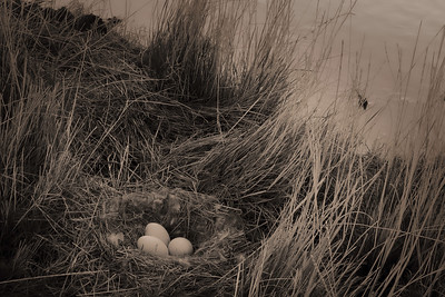 Canada geese eggs