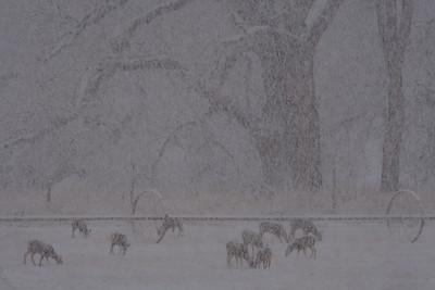 Deer in snowstorm