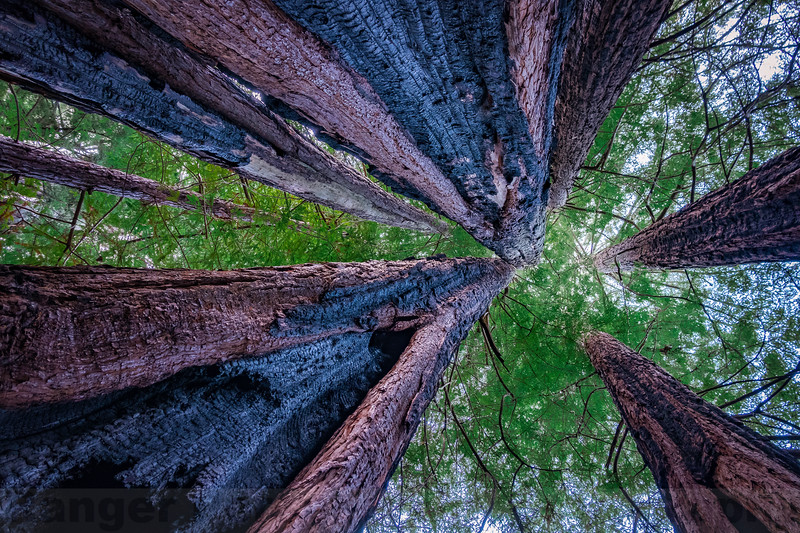 Looking up at Big Trees