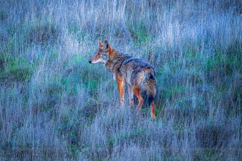 Coyote at Azalea Hill