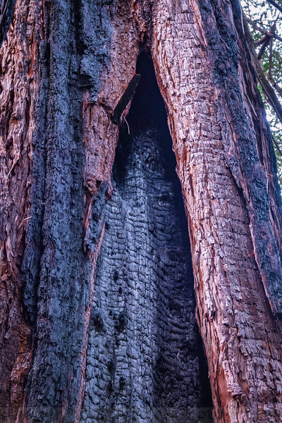 Catface (Fire Scar) inside a Family Circle of Redwoods at Big Trees