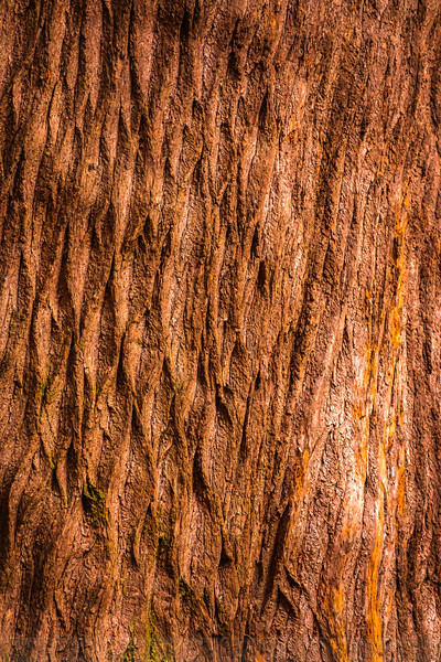 Old-growth California Nutmeg Bark