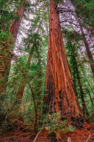 "Old-growth Redwoods in the ""Gully of Giants"""
