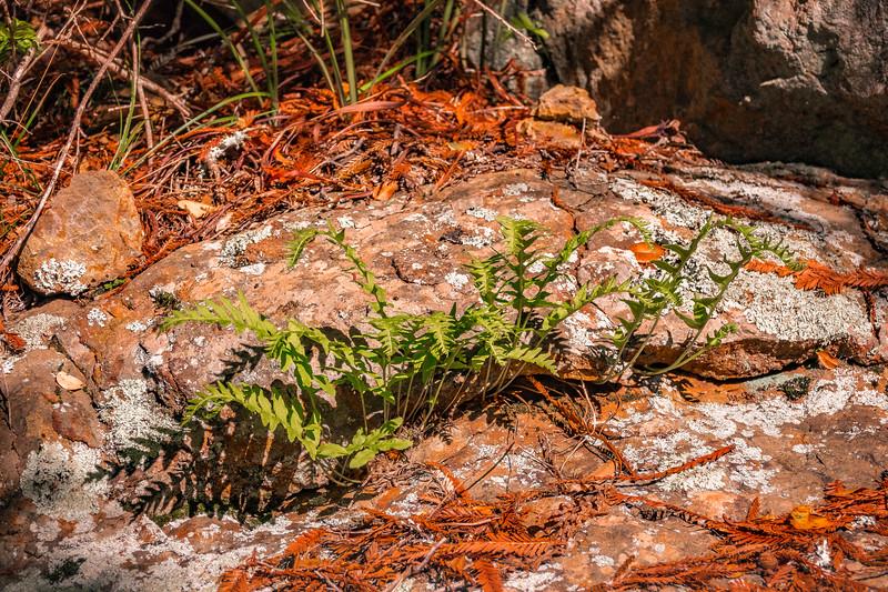 Polypod Ferns