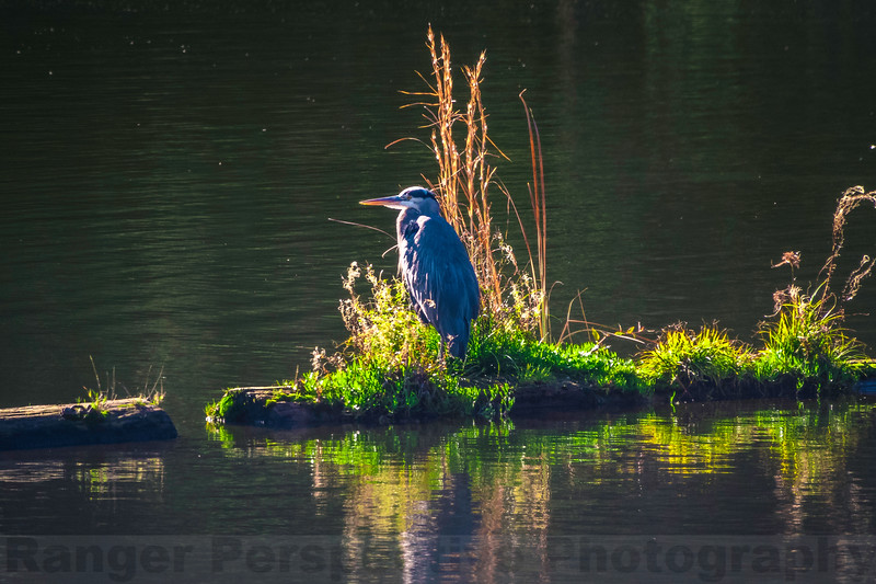 Great Blue Heron at Lake Lagunitas