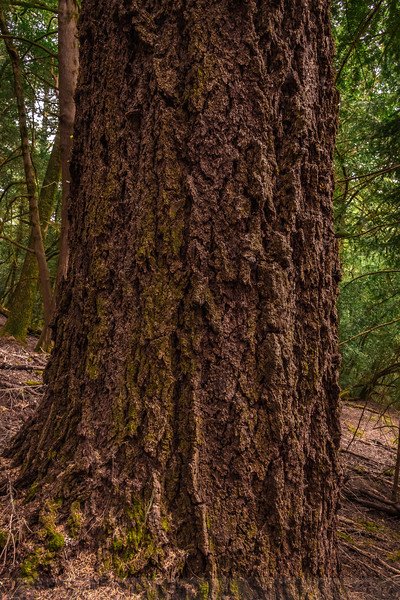 The trunk of an Old-growth Douglas Fir on the slopes of Bolinas Ridge