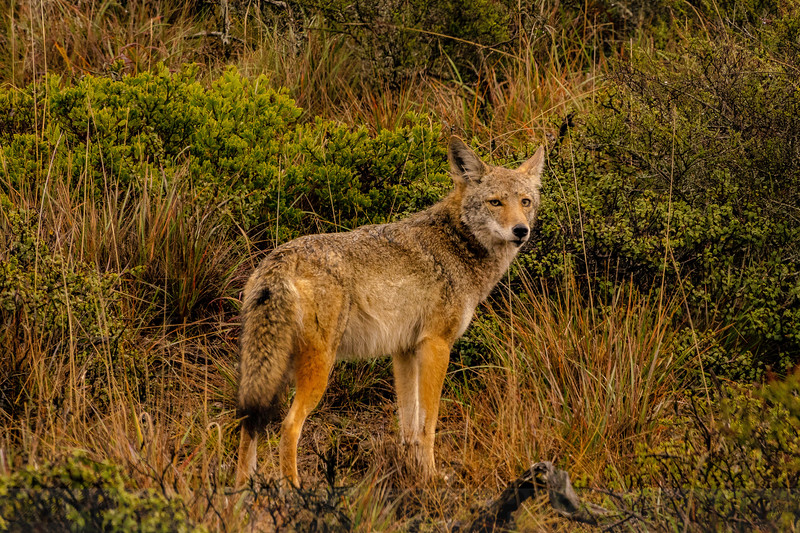 Bolinas Road Coyote