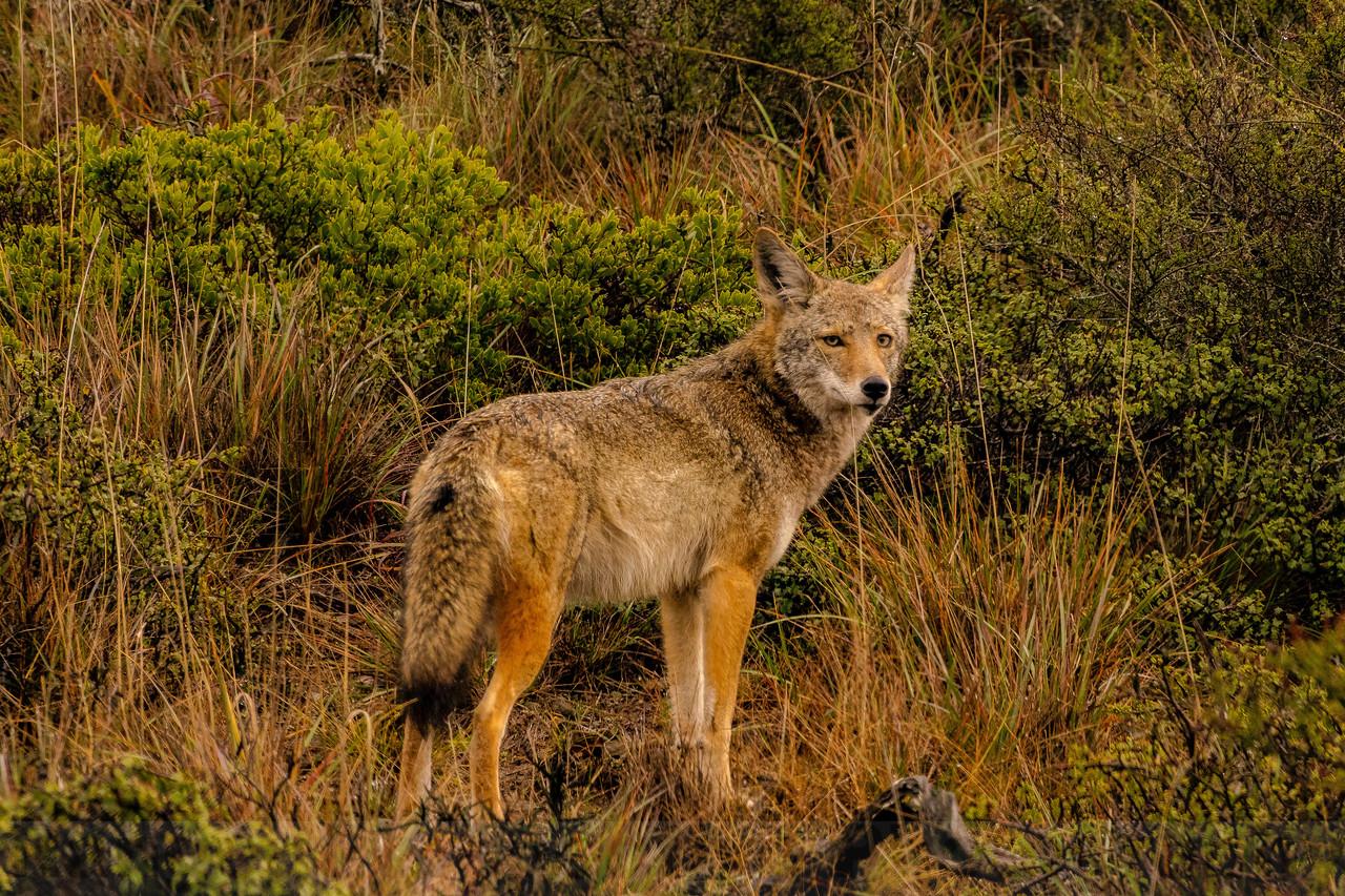 Bolinas Road Coyote