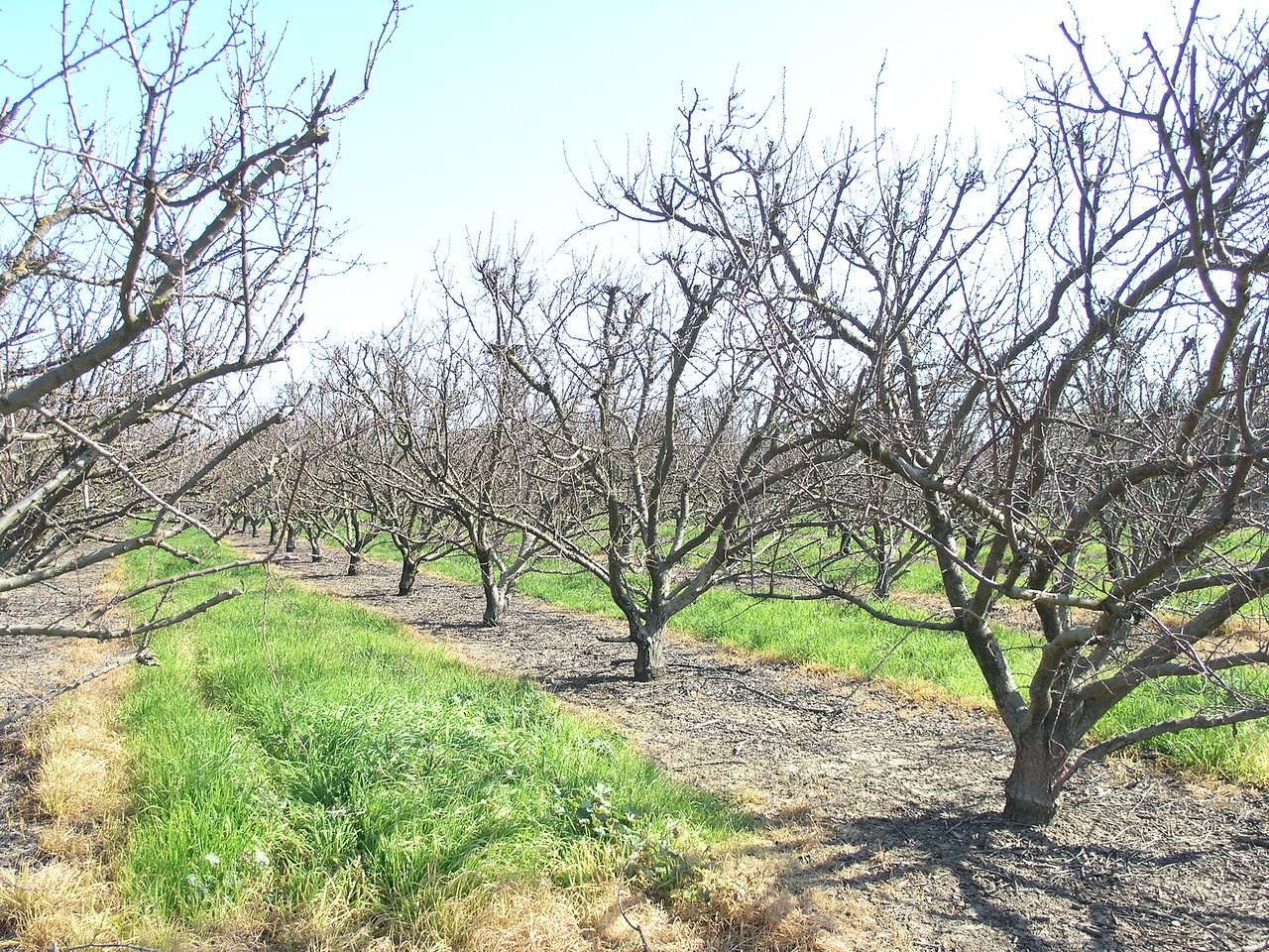 It looks like the apricot growers are following in the footsteps of the almond farmers and keeping a green strip down the middle of the tree rows.