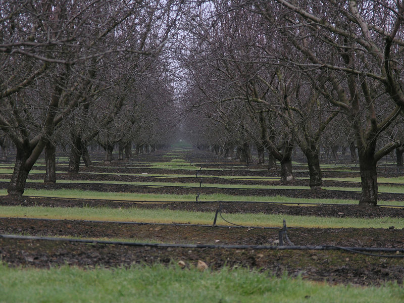 "A view of an older almond orchard in San Joaquin county. Note the drip system for irrigation. You can also note the strips of vegetation between the rows. 30 years ago a ""well farmed almond orchard"" would have been bare except for the almond trees.  Eventually people noted that farmers that had weeds and vegetation at the edges of the orchard had a slower re-infestation of insect pests near the weeds. This was because of the predators that hid in the weeds. Now this is the norm to have mown vegetation between the rows of trees."
