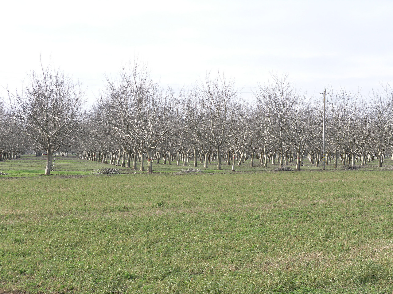 This is a juvenile walnut orchard probably in the five year range.   A nice orchard coming on strong.
