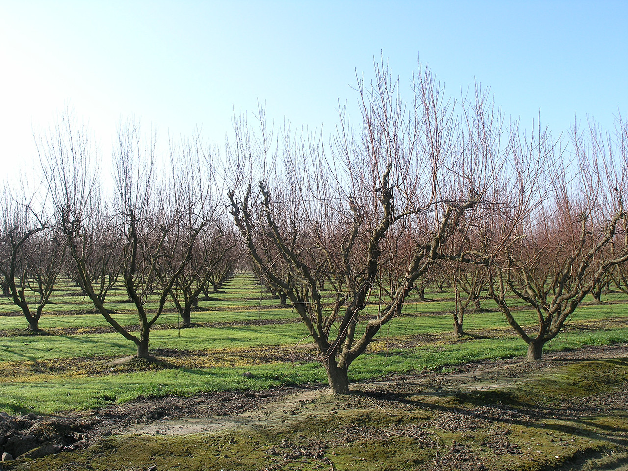 This is one of the few younger orchards I saw. If you compare the previous picture with this one you can see the amount of pruning that peaches take.