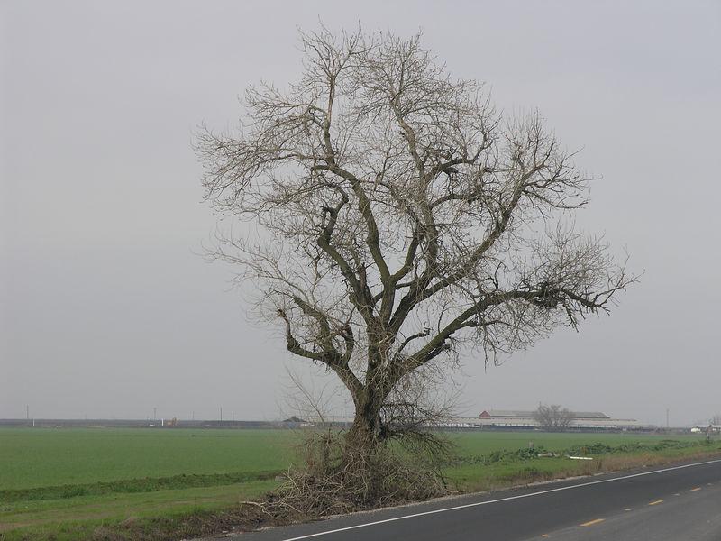 A poplar growing along the road .