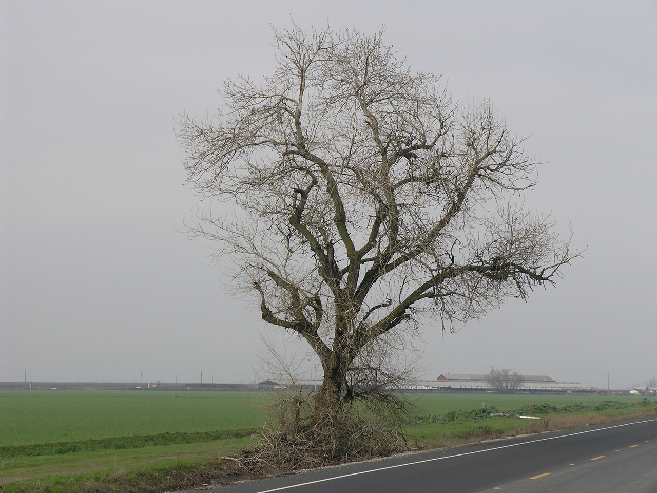 A poplar growing along the road .