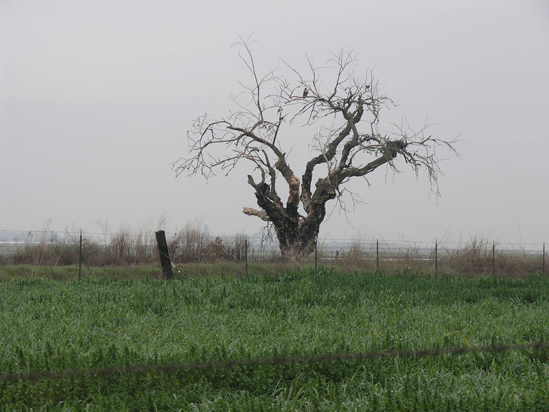 I saw this interesting tree driving along Mariposa Road north of Escalon. It looks like an old broken down Poplar tree. This might be the remains of an old residence site.