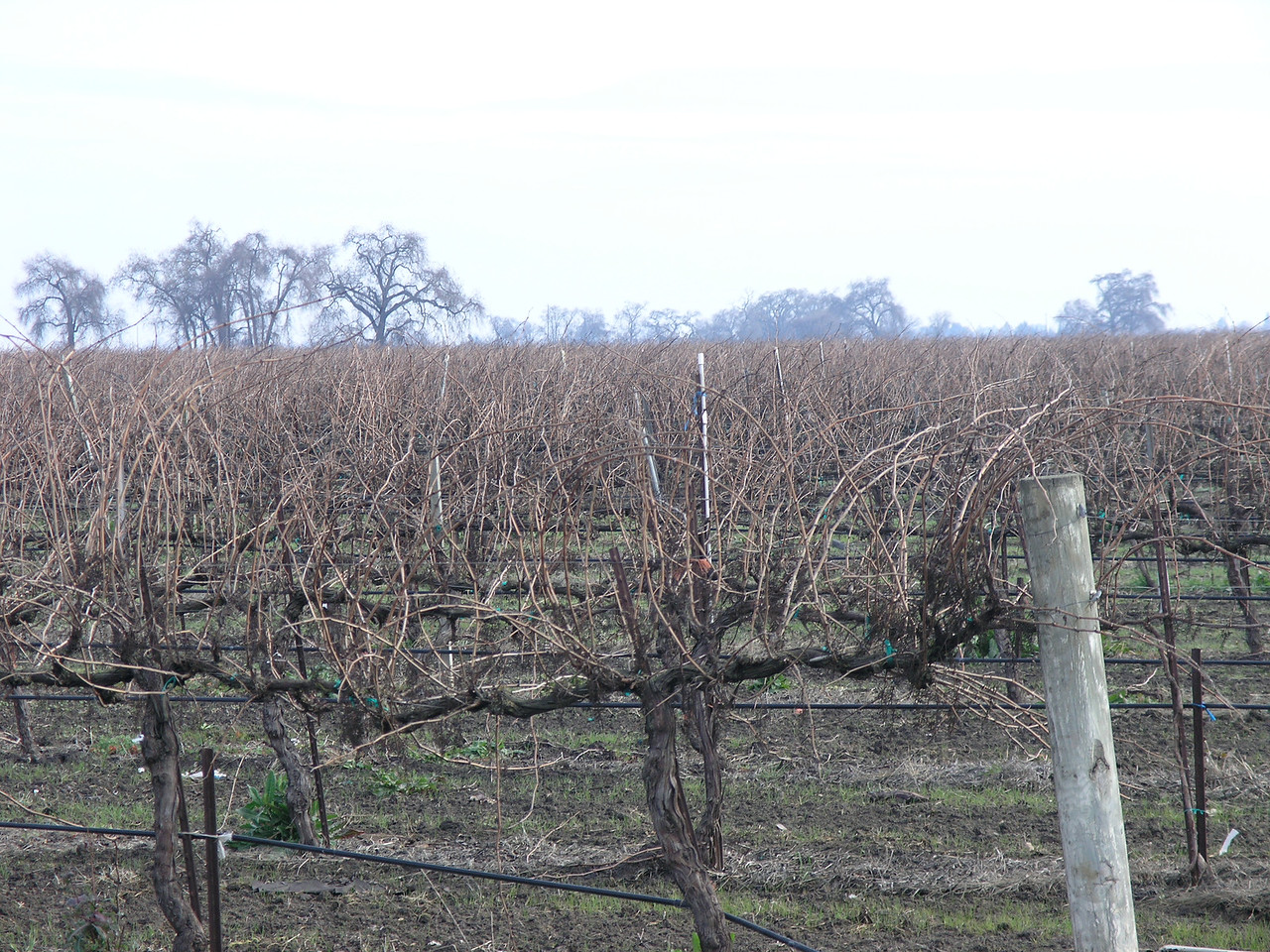 As you dirve around you can see several methods of training grapes. This is cordon pruning.  Note the arms on the wires and the secondary canes coming off the cordons..