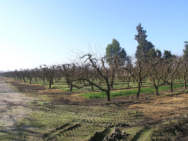 As I drove around I was looking for some old style peach plantings.  There aren't many peaches left here. The planting is much closer than what we saw in the 50's and 60's.