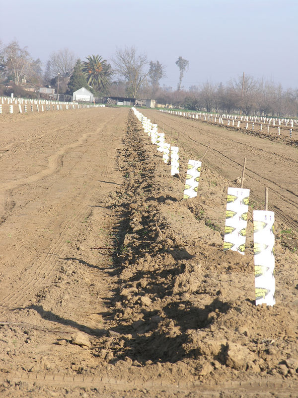 Another view of new almonds.  The sleeves around the trunks are to protect from sun burn and rodent damage to the tender trunks.  <br /> <br /> These trees were watered when they were planted, except for rain they won't be watered untill they leaf out..