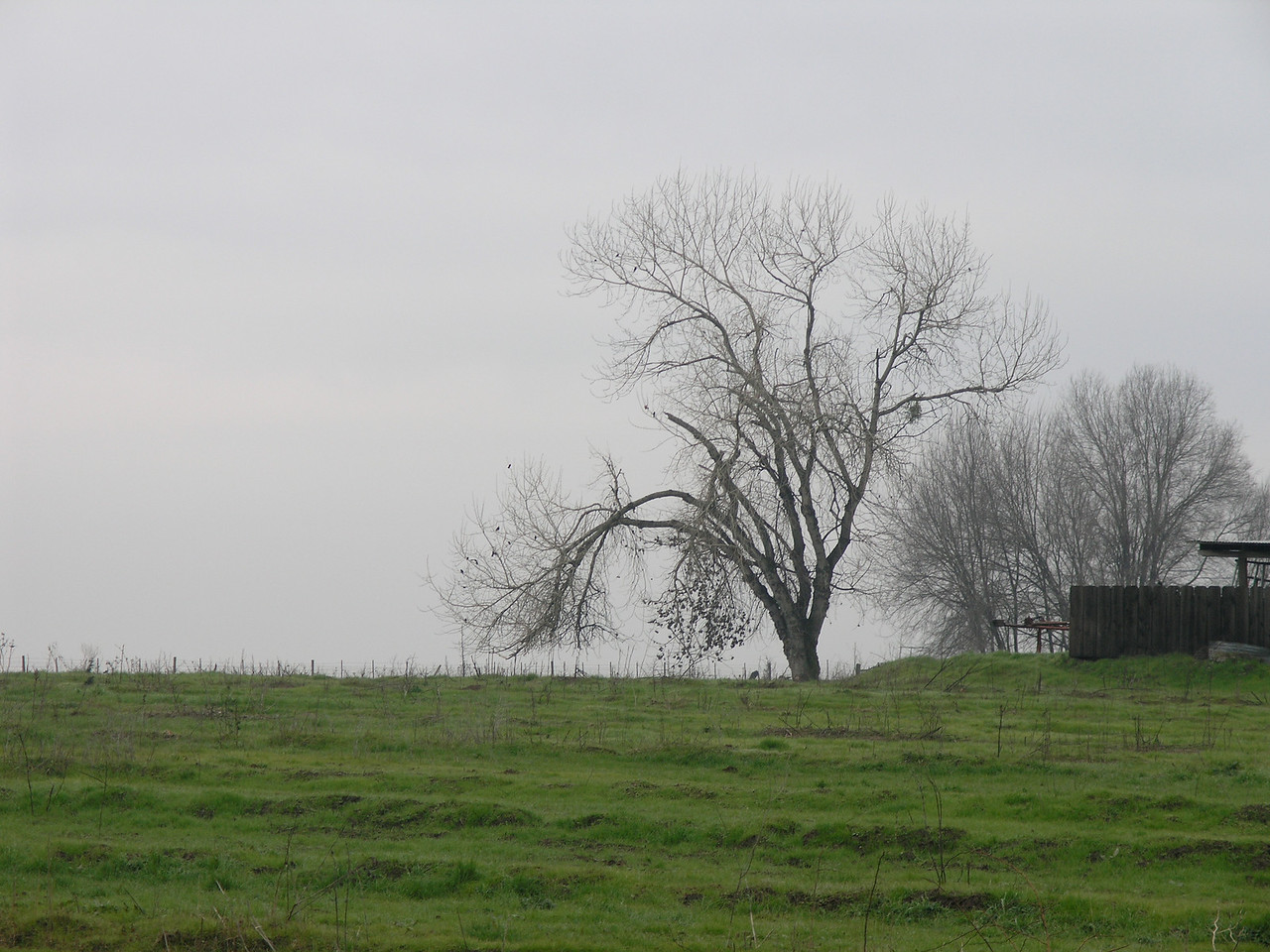 I didn't get close enough to ID the tree but it is growing on the edge of a  residence.  Deciduous trees against the fog is a typical winter scene here.