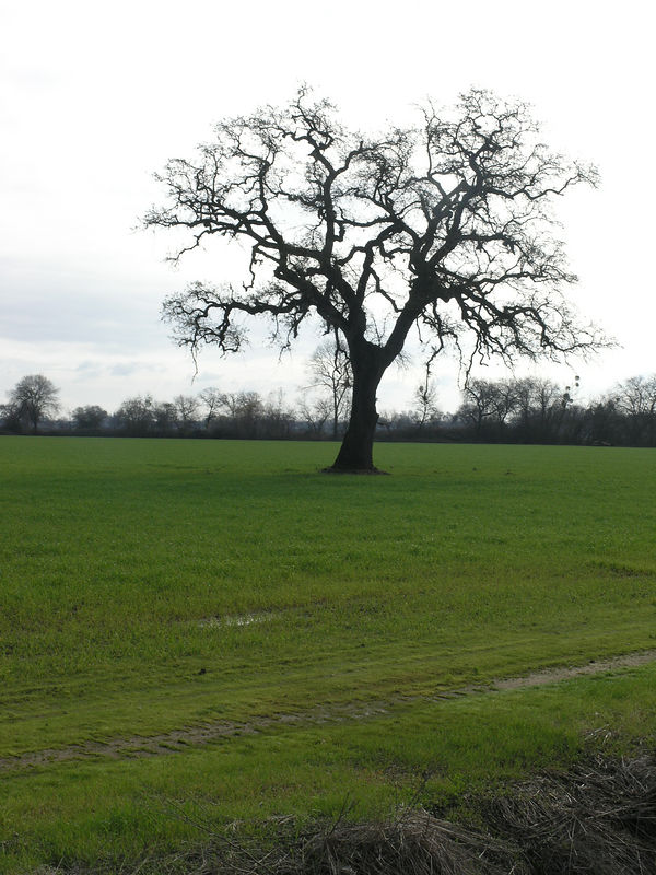 Here is an oak allowed to grow in the middle of the field.  Still a young tree.