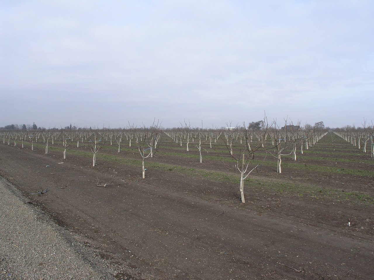 This is a two year old walnut orchard. Note the whitewashed trunkes to protect the english walnut from sunburn.