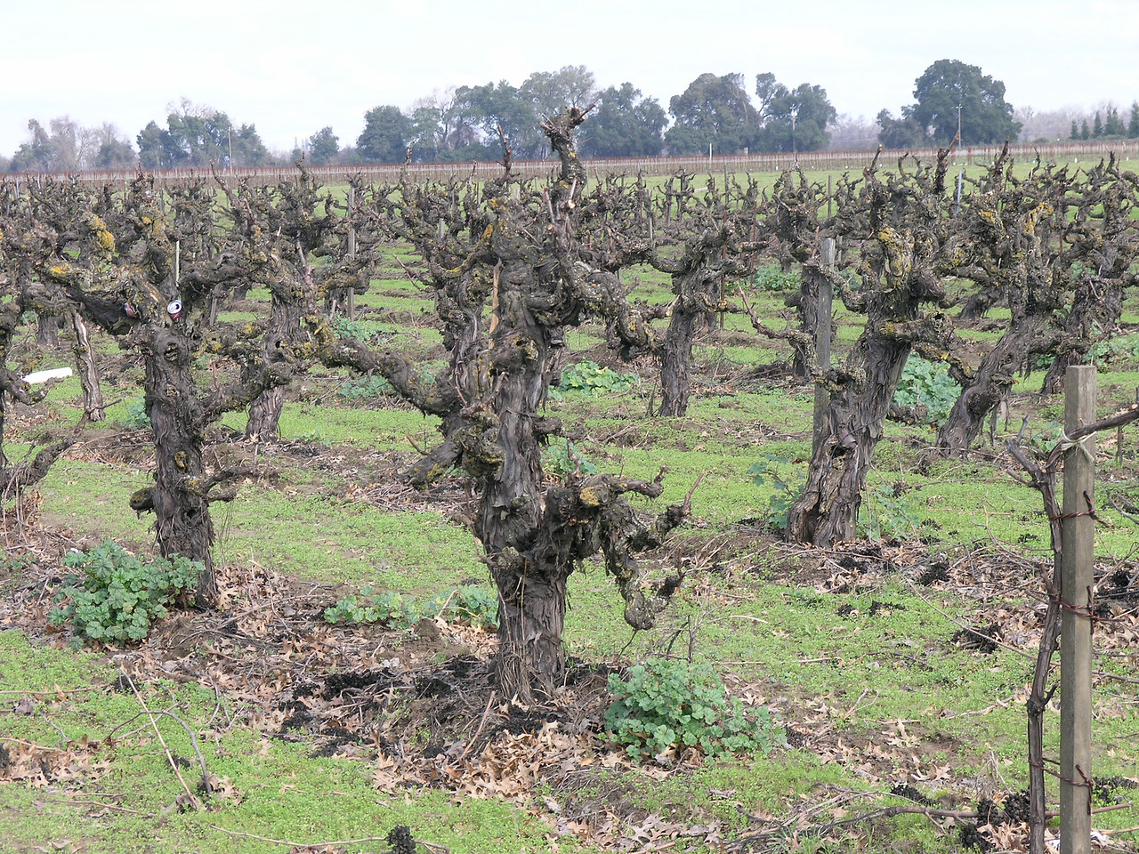 This is a stump pruned grape vineyard near Lockford east of Lodi.  This is probably Tokay grapes.  Near Lodi is where Tokay grapes do their best. The new vineyards are often wine grapes but this is probably 20+ years old when Tokay was the dominant variety here.