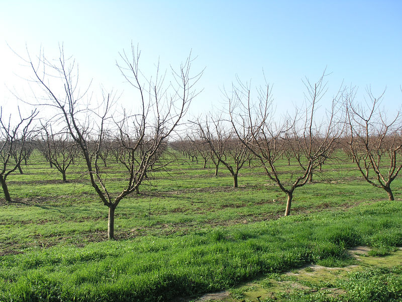 a young peach orchard. not many of them around.