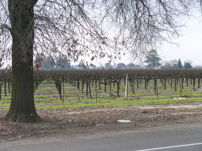 Another cordon vineyard. This is probably one of the newer wine varieties from this region.