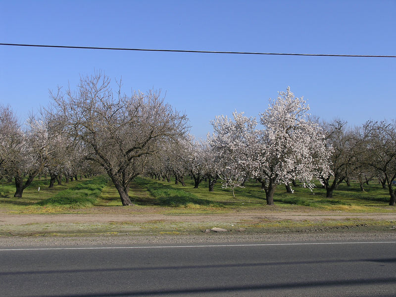This an almond orchard showing one variety in bloom and the other with no blooms yet.  The first variety to bloom has to wait until the second variety starts opening before it can set any nuts.