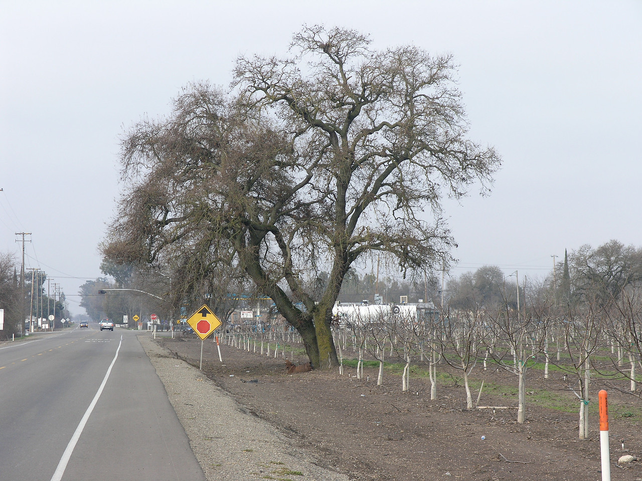 I noticed this valley oak along the side of the road near this young walnut orchard. I appreciate the willingness of the farmer to allow the oak to continue even though you can see that it is impacting the close walnuts.