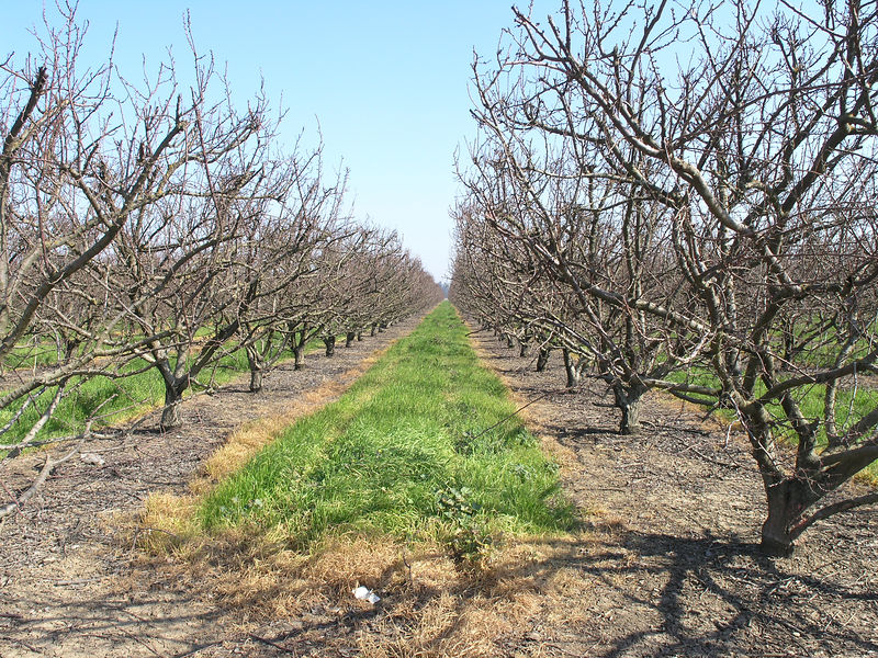 The Patterson area is noted for being the foremost Apricot growing region in the country.<br /> <br /> Most of the competetive apricots come from the middle east.