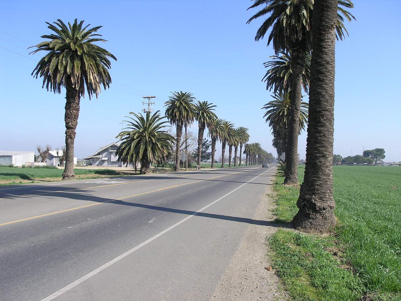 Las Palmas drive is well known for the line of Canary Island date palms from the san joaquin river to Patterson. My understanding is they were planted in the 20's