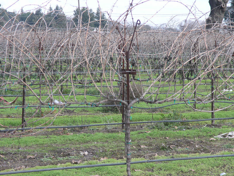 A young cordon trained vineyard.  Most of the new vineyards are trained this way.  Depending on the variety the growth is pruned to short spurs or longer canes.  Some varieties tend to produce fruiting wood at different spots on the vine. A mistake pruning can be disastrous for the yield.