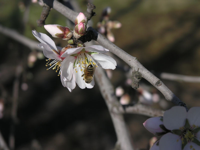 This is a bee at work on one of the first almond blossoms.  Unfortunately because it is one of the first blossoms there is no chance for cross pollination. No cross pollination no nuts.