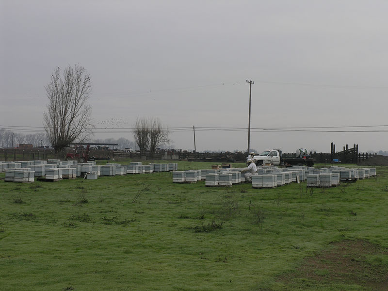 The bee keepers are getting ready to move the bee hives into the orchards. this scene was along the road and you don't often see hives stored near a road. Too many people want to steal them and the bees in warm weather and a road don't mix.