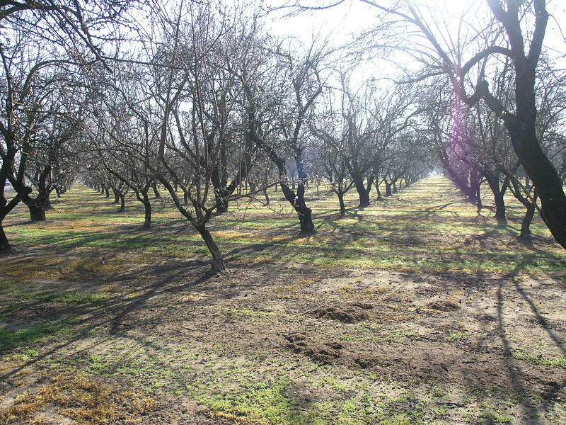 I took this picture to show the different ages of the trees. It looks like this orchard was inter-planted 3 or 4 years after  the main part of the orchard was planted.