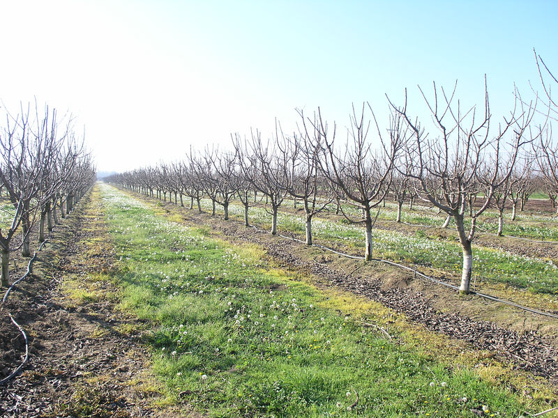 This is a small orchard of cherries.  It is amazing to see how close they are being planted.  Cherries used to be at 24' centers this is 10-12 ft centers.