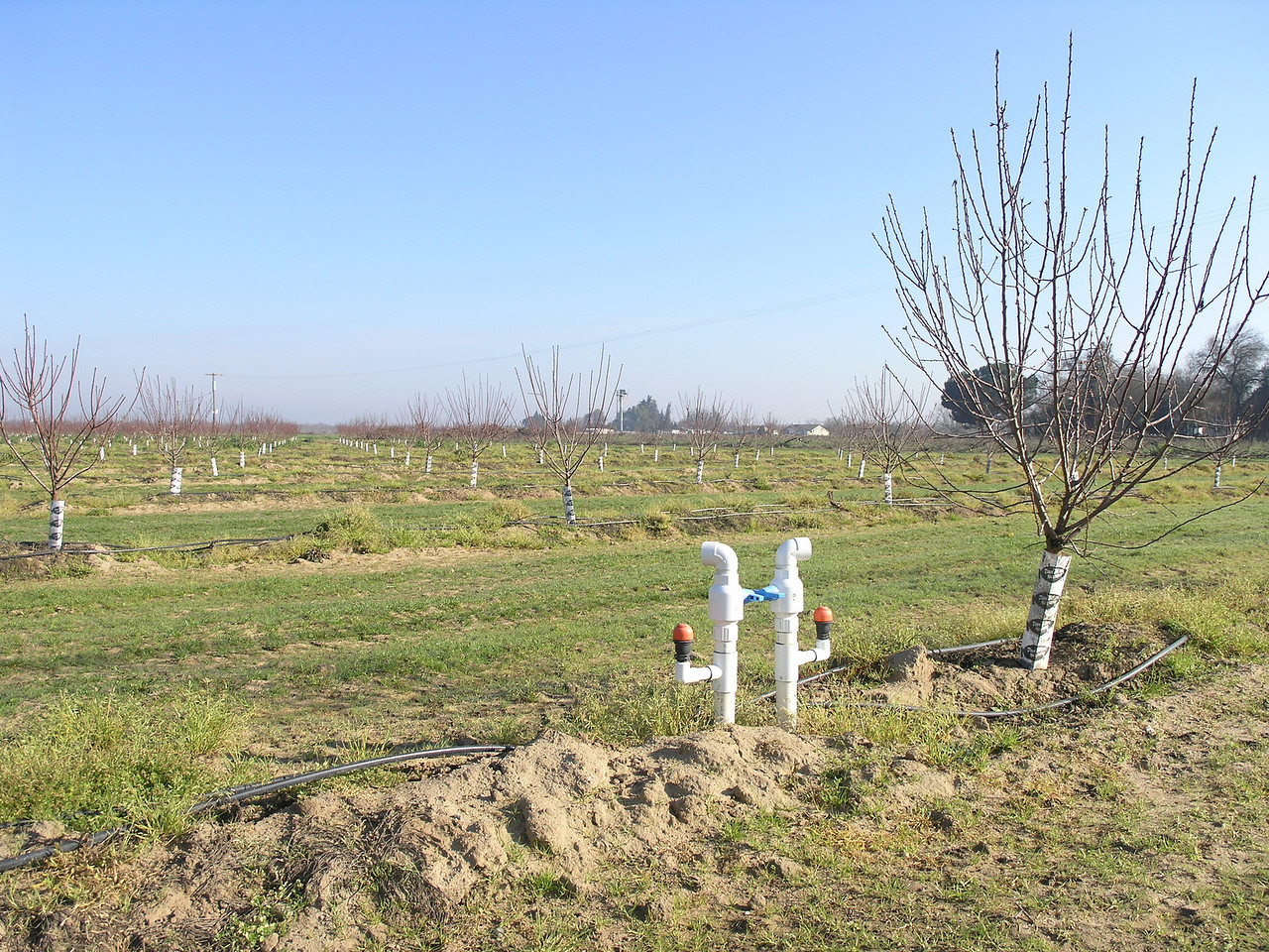 This is anothner young orchard with the drip system showing.