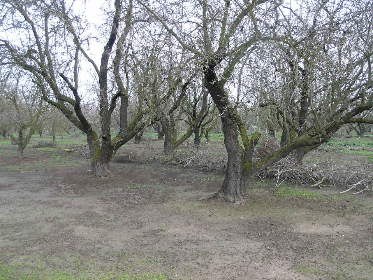 this is an old almond orchard whth prunings on the ground.  Many years ago almons were hardly pruned at all. Now they do enough pruning to continually renew the flowering spurs. This increases production.