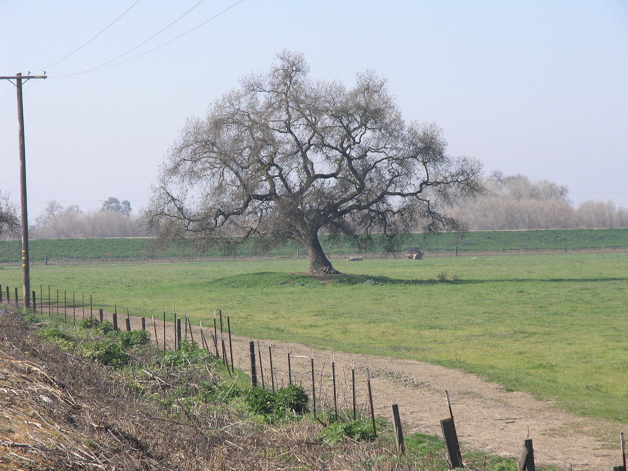 This Oak is in the San Joaquin river flood plain. This is a field run dairy cattle area.