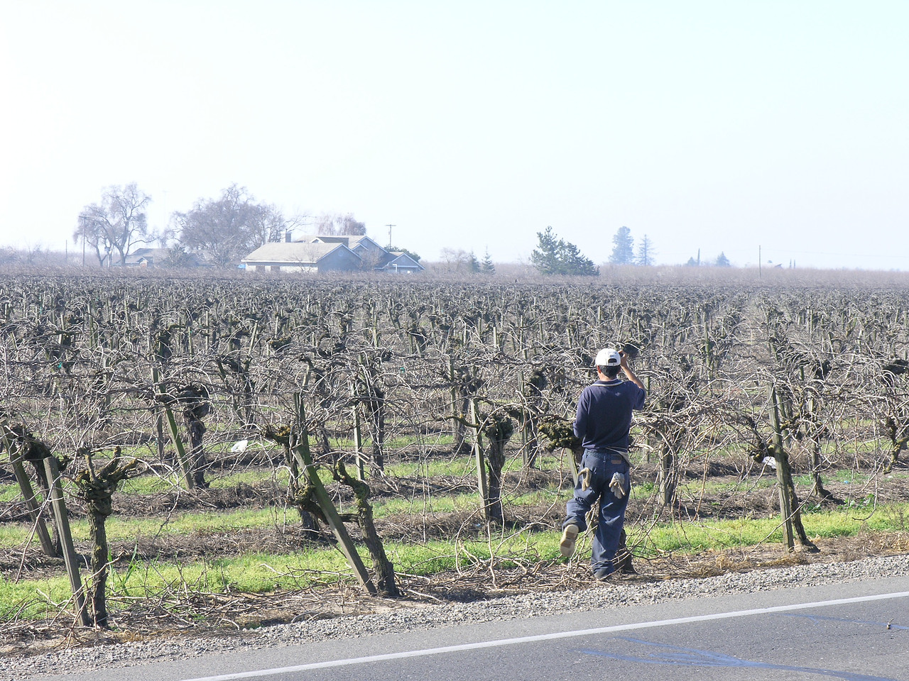 Driving on Keyes road I saw a small crew pruning grapes.