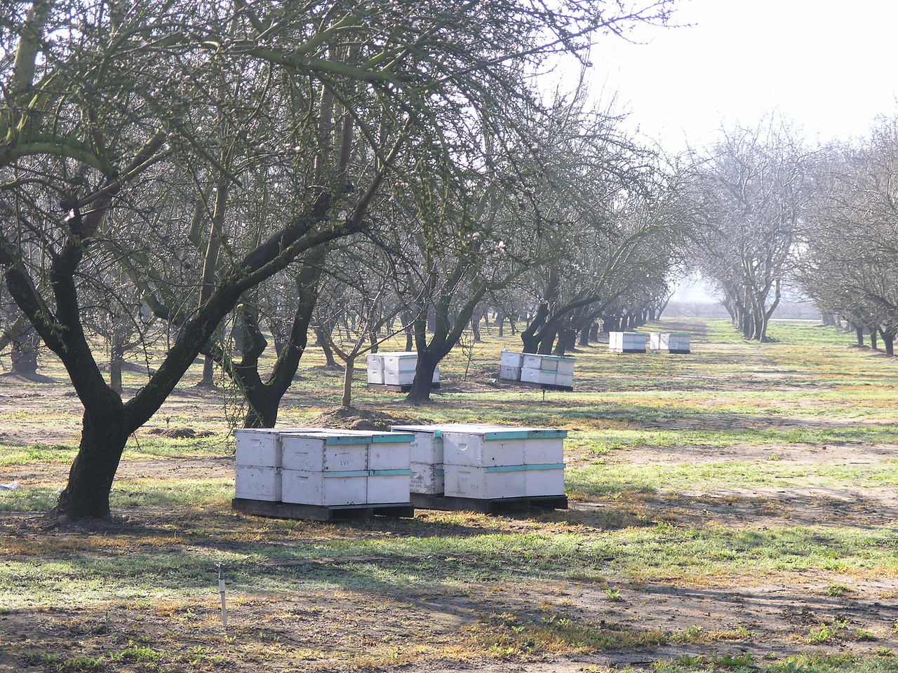 earlier I showed some bee keepers. This shows bee hives placed in an almond orchard.