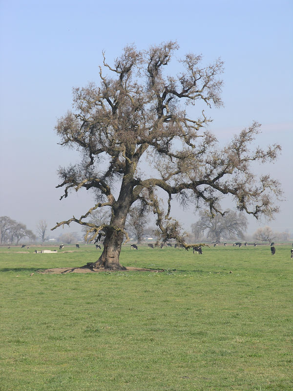 This oak has obviously had a longer and harder life than the previous oak.