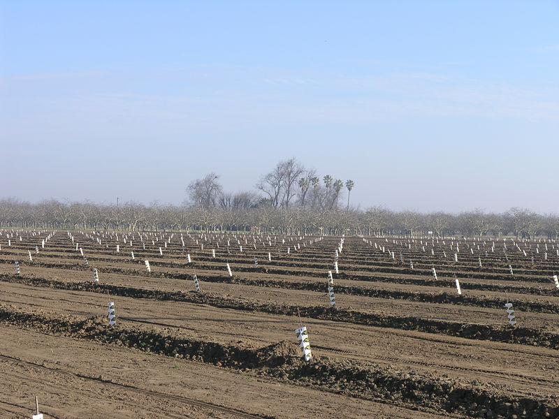 this is a new planting of almonds east of Modesto. when I was growing up this area would have been planted with canning peaches.  No more.<br /> <br /> Canning peaches are becoming less and less common near Modesto. A combination of changes in eating habits and the availibility of fruit almost year round has reduced the sales of canned fruit.