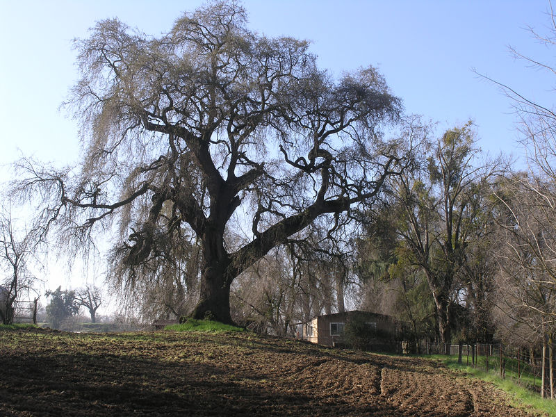 This oak towers over the caretaker residence at the park. A spectacular tree.