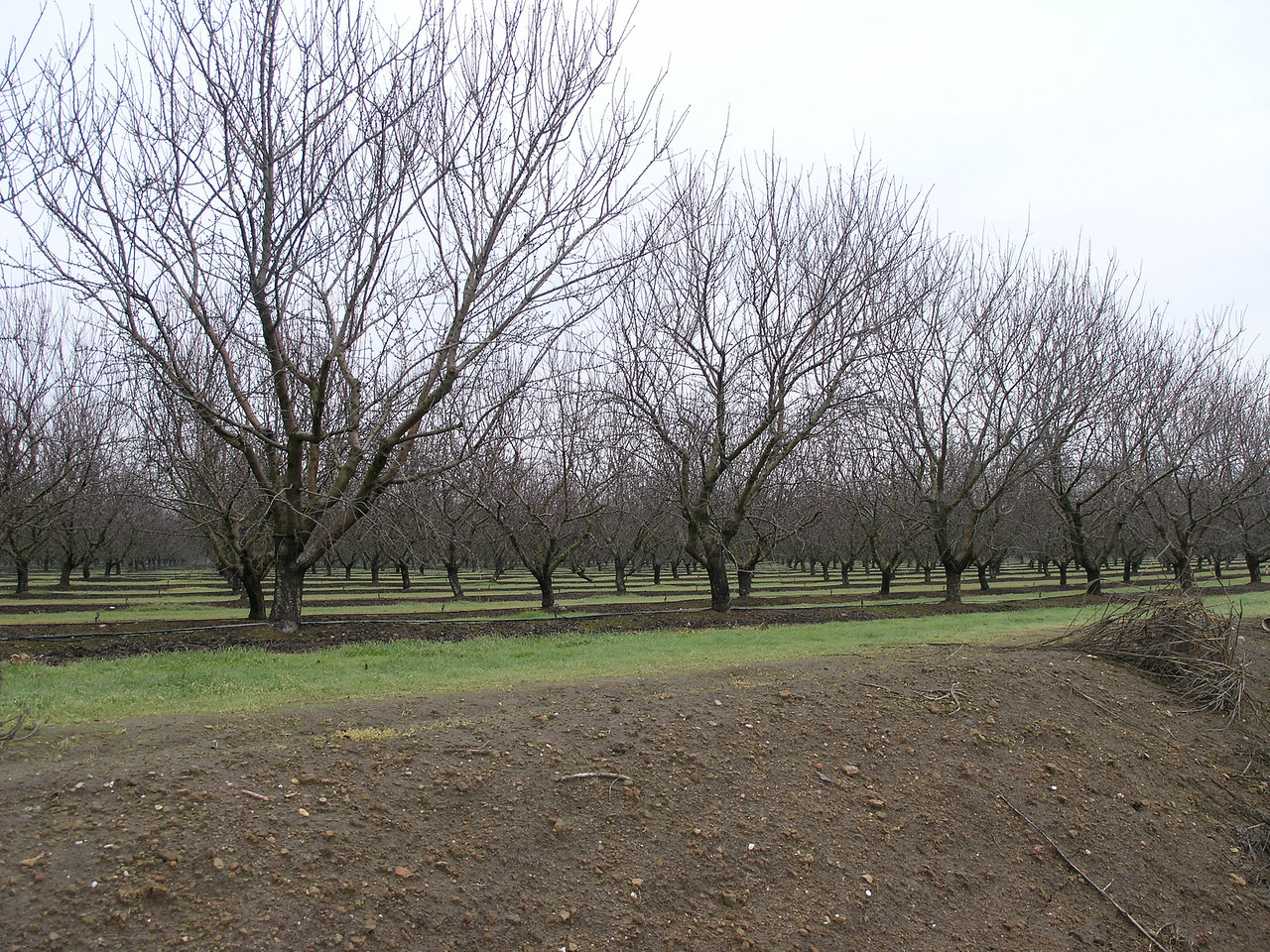 Almond trees along a road east of Modesto.  30 years ago this was dairy country until the price of almonds made the cost of preparing the dairy land for almonds profitable. At a guess this is about 5 or 6 years old and just becoming full producing.