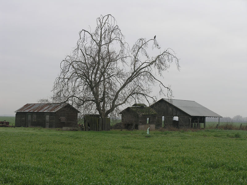 This is a close up of the same set of barns with an oak tree and I just noticed a hawk? or ?