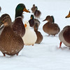 Snow ducks