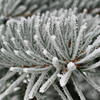 Frosty Pine Tree<br /> © Pamela Stover<br /> Exposed Images Photography
